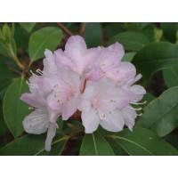 Рододендрон Каролинский (розовый)