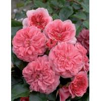 Роза Les Quatre Sеаison (Лэс Кватре Сизонс) (почвопокровные)
