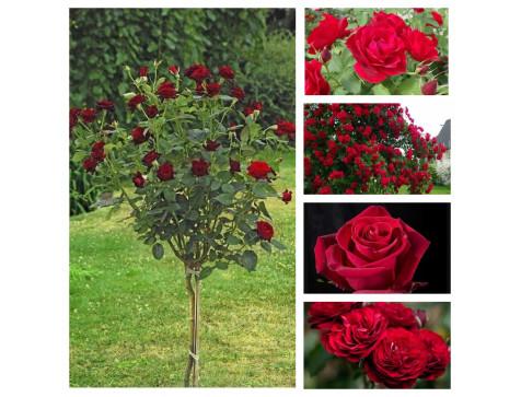 """Комплект """"Страсть"""" (Штамбовая роза Блэк Баккара, Канадская роза Хоуп фо Хьюманити, Плетистая роза Бельканто, Чайно-гибридная роза Forever Young, Флорибунда Лаваглут )"""