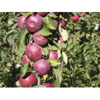 Яблоня колоновидная Есения
