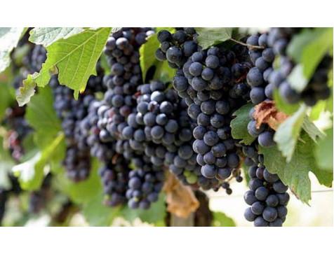 Виноград Молдава (Поздний/Черный)
