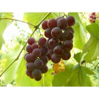Виноград Лидия (Средний/Красный)