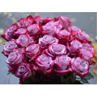 Роза Дип Перпл(чайно-гибридная)