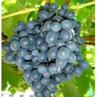 Виноград Муромец (Ранний/Черный)