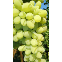 Виноград Августин (Ранний/Белый)