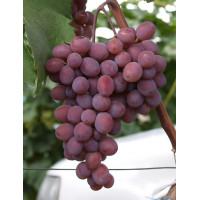 Виноград Подарок Крайнова (Средний/Белый)