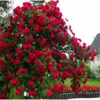 Роза Бельканто (плетистая)