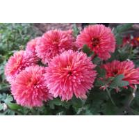 Хризантема Книпскис (Среднецветковая/Розовая)