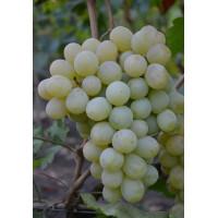 Виноград Антоний Великий - Кишмиш (Средний/Белый)