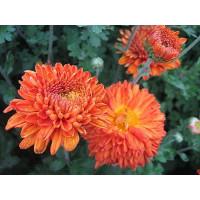 Хризантема Пектораль (Среднецветковая/Оранжевая)