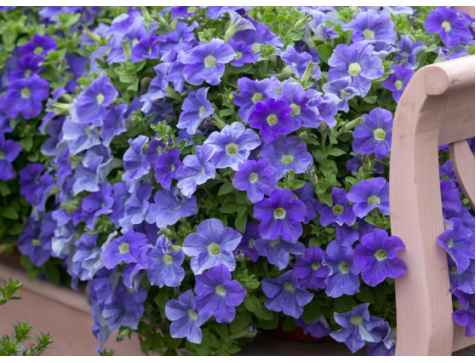 Петуния Надежда низкорослая (голубая с белой серединкой)