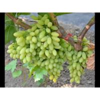 Виноград Столетие - Кишмиш (Средний/Белый)