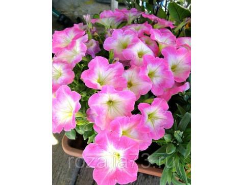 Петуния Лолита светло-розовая
