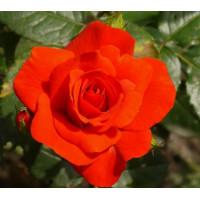 Роза Чин-Чин (флорибунда)