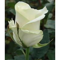Роза Амелия(чайно-гибридная)