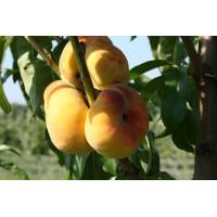 Персик колоновидный Инжирный